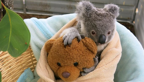 koala and teddy.png.png
